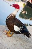 Pato de muscovy masculino Fotografía de archivo