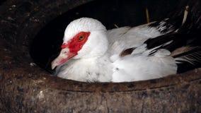 Pato de Muscovy, moschata del Cairina, mintiendo almacen de video