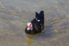 Pato de Muscovy (moschata do Cairina) Fotografia de Stock