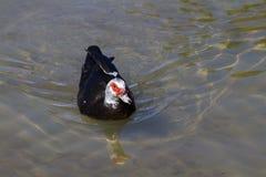 Pato de Muscovy (moschata do Cairina) Imagem de Stock