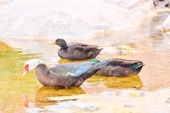 Pato de Muskovy selvagem foto de stock royalty free
