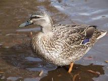 Pato de NZ Imagens de Stock