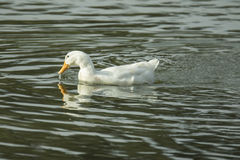 Pato de pesca Foto de Stock