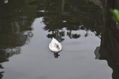 Pato de plata del pato rojizo del bahama Imágenes de archivo libres de regalías
