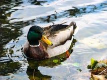Pato de presentaci?n hermoso en tiempo soleado - pato en agua imagen de archivo