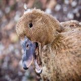 Pato de Quacking Fotografía de archivo