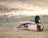 Pato de reclinación del pato silvestre Foto de archivo libre de regalías