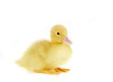 Pato de sentada imagen de archivo