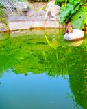 Pato decorativo en un lago decorativo imagenes de archivo