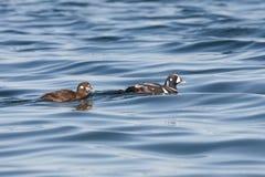 Pato del arlequín de la natación imagenes de archivo