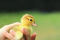 Pato del bebé en fondo verde Fotos de archivo libres de regalías