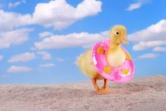 Pato del bebé que recorre en la playa Imagen de archivo libre de regalías
