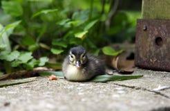 Pato del bebé que se sienta en un patio del jardín foto de archivo