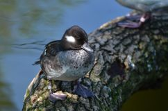 Pato del Bufflehead Fotos de archivo