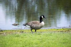 Pato del parque de Titlow Imagen de archivo libre de regalías