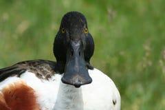 Pato del pato cuchara Fotografía de archivo