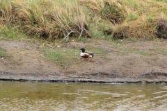 Pato del pato cuchara septentrional en los bancos Foto de archivo