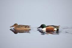 Pato del pato cuchara septentrional Varón y hembra en el agua Clypeata de las anecdotarios fotografía de archivo