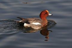 pato del pato de mar Fotografía de archivo libre de regalías