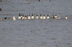Pato del pato rojizo septentrional foto de archivo libre de regalías