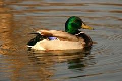 Pato del pato silvestre Fotografía de archivo libre de regalías