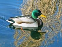 Pato del pato silvestre Foto de archivo