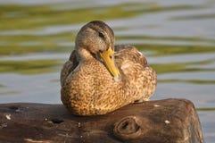 Pato del pato silvestre Fotografía de archivo