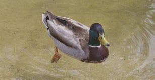 Pato del pato silvestre Fotos de archivo libres de regalías