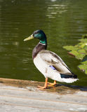 Pato del pato silvestre Imagen de archivo