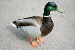 Pato del pato silvestre imagenes de archivo