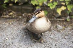 Pato del pato silvestre al aire libre en una trayectoria Imagen de archivo
