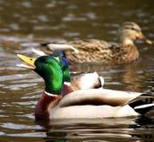 Pato del pato silvestre de Malle Fotografía de archivo libre de regalías