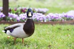 Pato del pato silvestre del retrato en fondo de la flor Imágenes de archivo libres de regalías