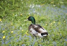 Pato del pato silvestre en la hierba verde rodeada por las flores Imagen de archivo