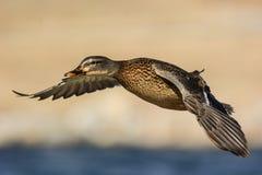 Pato del pato silvestre en vuelo Fotos de archivo libres de regalías