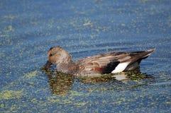 Pato del pato zambullidor en la charca con la lenteja de agua fotos de archivo libres de regalías