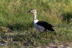 Pato del peine Foto de archivo