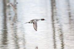 Pato del pato rojizo septentrional fotos de archivo libres de regalías