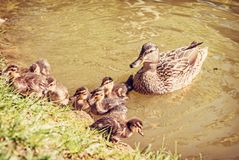 Pato del pato silvestre con los jóvenes en el agua fotos de archivo