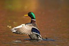 Pato del pato silvestre en el agua anaranjada en caída en la oscuridad fotos de archivo libres de regalías