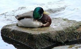 Pato del pato silvestre en una roca imagen de archivo