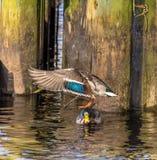 Pato del pato silvestre que vuela que aterriza en otro pato silvestre fotografía de archivo