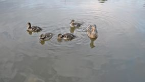 Pato del pato silvestre y natación de los anadones almacen de video