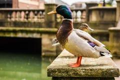 Pato del varón del pato silvestre imagenes de archivo