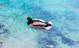 Pato del var?n del pato silvestre imagen de archivo libre de regalías