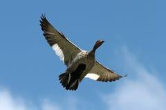 Pato del vuelo Foto de archivo