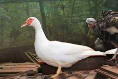 Pato del vuelo y gallina de pavo en una granja Imagenes de archivo