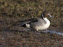 Pato do arrabio do norte em um pantanal Imagem de Stock