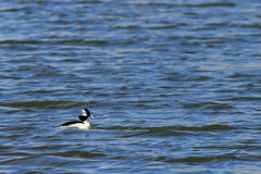 Pato do Bufflehead que nada preguiçosamente no lago imagens de stock royalty free