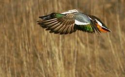 Pato do norte do pato-colhereiro no vôo   Fotos de Stock